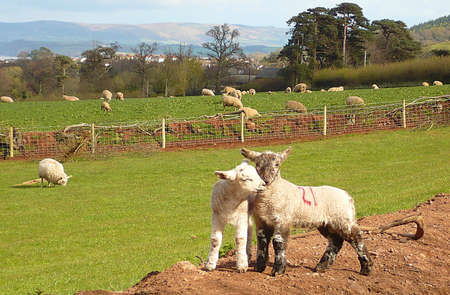 exmoor: affectionate spring lambs, Exmoor, South West England Stock Photo