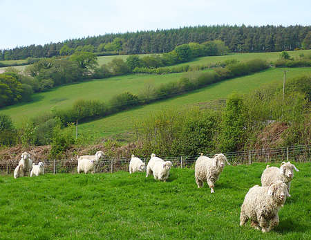Angora goats and their young on an Exmoor farm, South West England Stock Photo