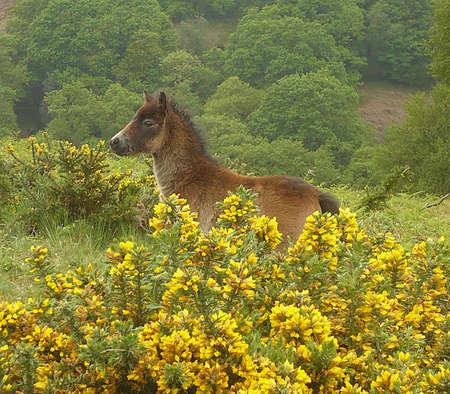 Exmoor pony foal, Exmoor, South West England Stock Photo - 9937420