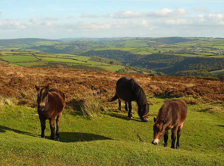 hardy: Exmoor wild, hardy ponies on Dunkery Hill, and the view towards the Quantock Hills and Mendip Hills, South West England