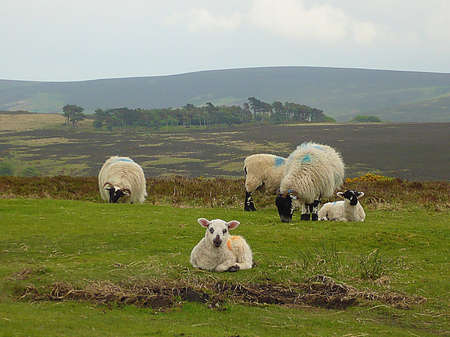 Sheep and lambs high up on Exmoor, South West England Stock Photo