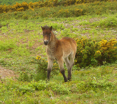 Exmoor pony foal, Exmoor, South West England Stock Photo - 4120486