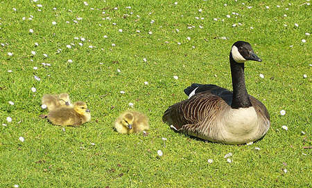 Canada goose and 3 goslings, South West England Stock Photo - 4120474