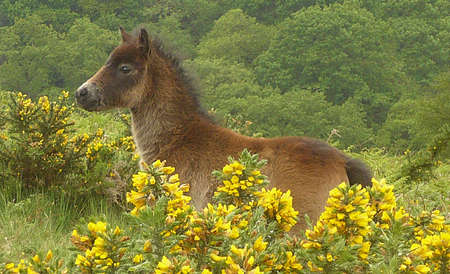 Exmoor pony foal trying to hide amongst the gorse flowers, Exmoor, South West England