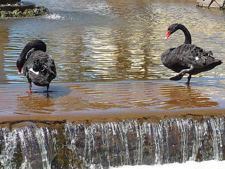 Two black swans, South West England Stock Photo