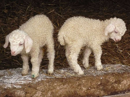 farmlife: Angora kid goats, just a few days old, on an Exmoor farm, South West England