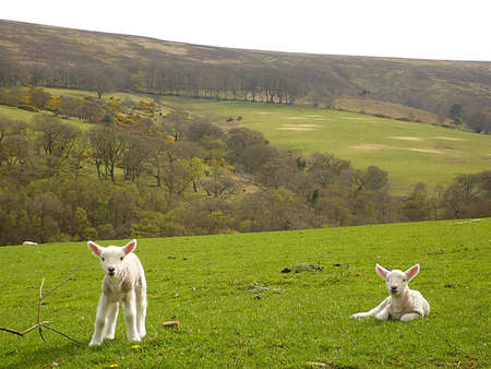 south west england: Two spring lambs, Exmoor, South West England