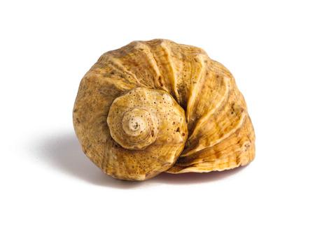 Muschel isoliert auf weißem Hintergrund. Exotisches Souvenir Standard-Bild