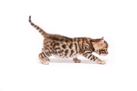 bengal: little bengal cat on white Stock Photo
