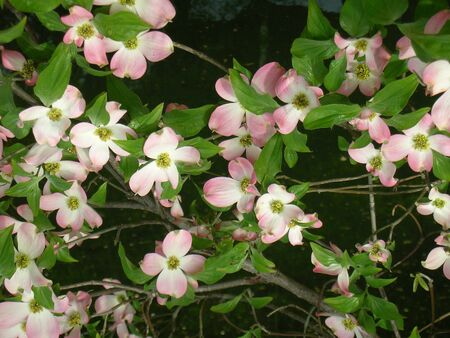 branches of pink Dogwood flowers