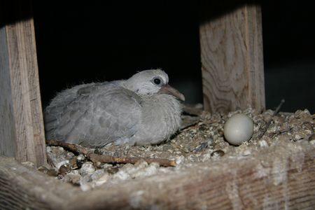 Ringneck Dove hatchling & egg
