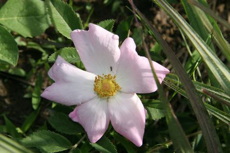 Ozarks Prairie Rose photo