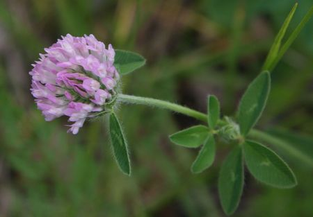 Ozark Clover photo