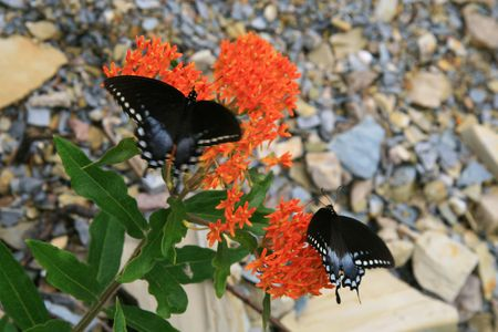 swallowtails: Black Swallowtails at the Butterfly Weed Stock Photo