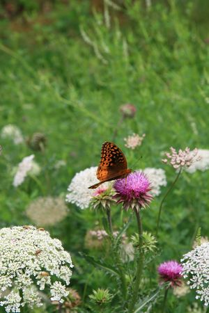 Butterfly on a Thistle photo