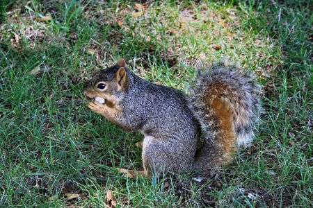 Squirrel munching peanut Stock fotó