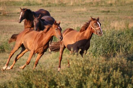 animal feed: Four horses at a gallop Stock Photo