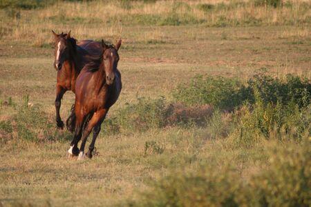 a pair of horses galloping