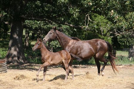 colt and mare at a run