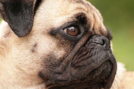 Pug dog named Cubby