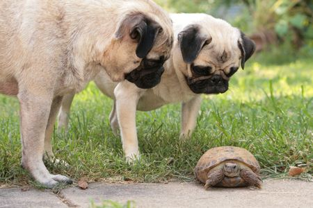 a couple of Pugs curious about a tortoise Imagens