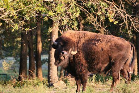 Bison tilt of the head