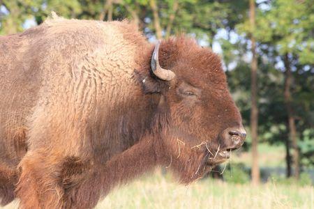 Bored bison Reklamní fotografie - 576651