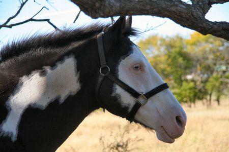 Bridled glass-eyed Paint horse