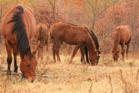 Young Quarter horses grazing with their mentor Stock Photo