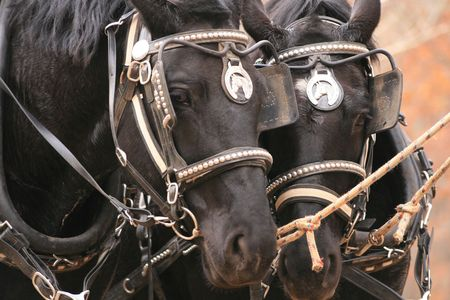 Percheron team of draft horses