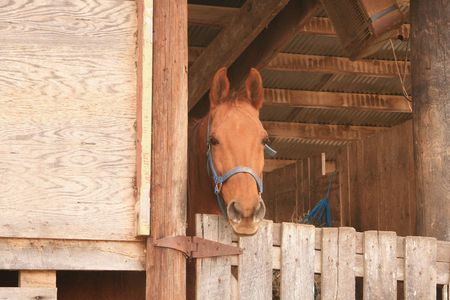 bred: Bubbles, an American Saddle Bred mare Stock Photo