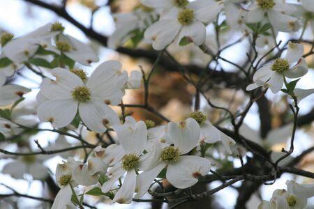 bracts: Dogwood tree, Cornus florida Stock Photo