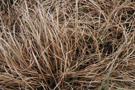 gramineas: Las praderas de gram�neas Dryed