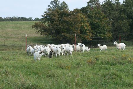 Canine and sheep herd photo