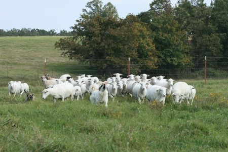 Working canine and sheep herd Imagens