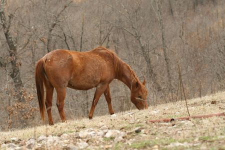 Pregnant mare grazing near the woods photo
