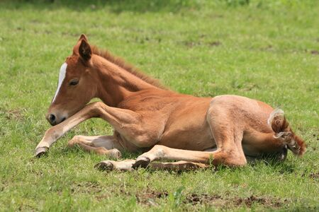 A young foal resting