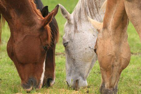 Four horses eating grain 免版税图像