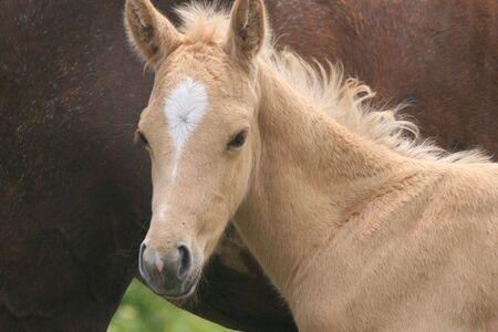 Foal Quarter horse Banco de Imagens