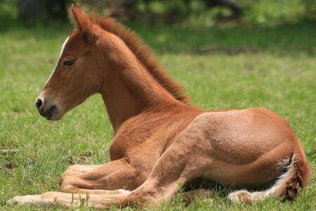 子馬のクォーター馬