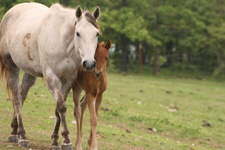 Broodmare and foal Quarter horses Stock Photo