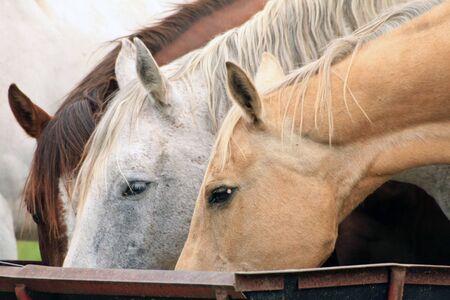 Three horses feeding at a trough