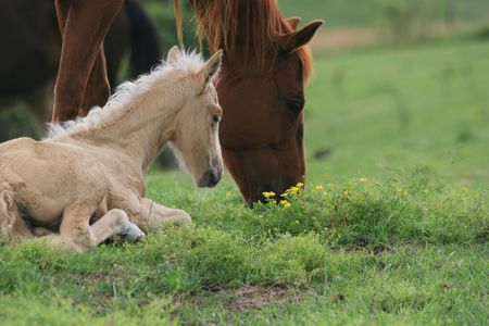 Grazing broodmare with resting foal