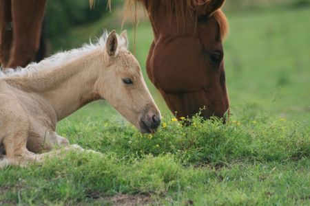 Foal nipping the wildflowers