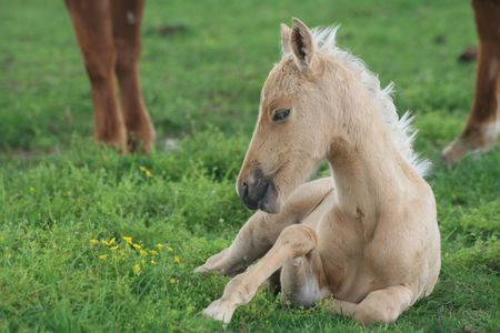 Foal resting near its mother