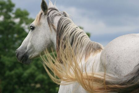 Gray horse Banco de Imagens