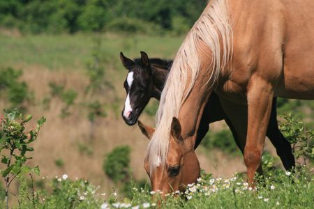 Broodmare with her young foal at her side Stock Photo