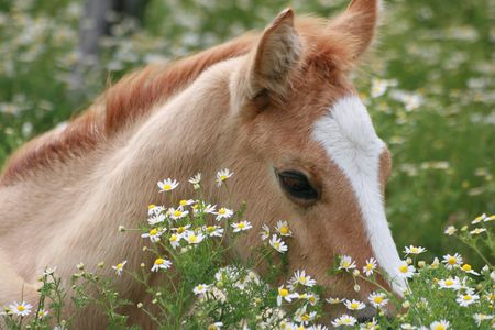Young foal resting in a field of daisies Stock Photo
