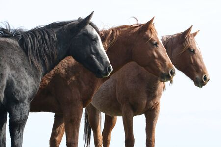 Three horses all lined up