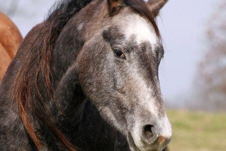 Beautiful gray Quarter horse